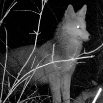 Coyote photographed by a trail cam near White Pond Trail